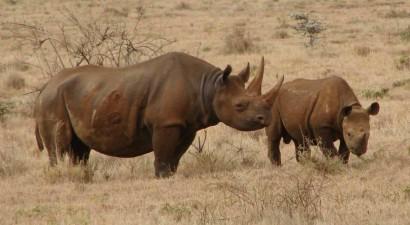 Νότια Αφρική: Στο... τρέξιμο οι ρινόκεροι