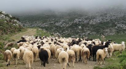 Πηνεία: Οι κτηνοτρόφοι έπιασαν τα δίκαννα